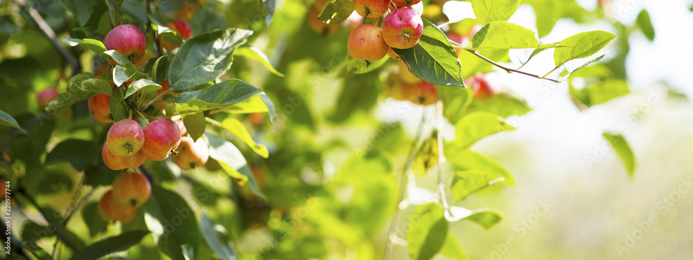 ripe red apples on branches with green leaves