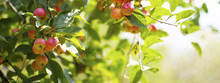 Ripe Red Apples On Branches Wi...