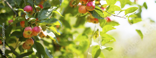 ripe red apples on branches with green leaves Canvas