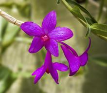 Dendrobium Sulawesiense, Orchi...