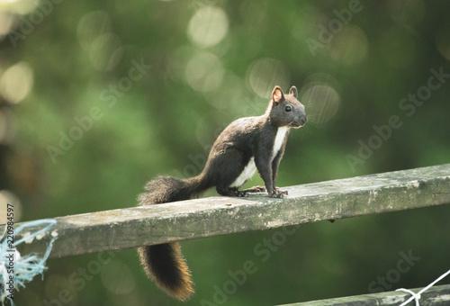 Zdjęcie XXL Ciekawy wiewiórka Bokeh w lesie