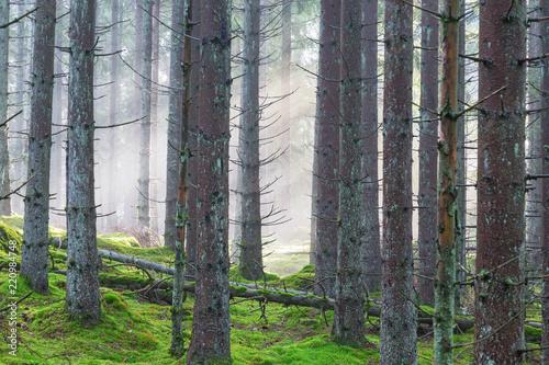 Papiers peints Foret brouillard Mist in the coniferous forest