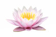 Isolate pink lotus flower on whit background