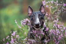 Miniature English Bull Terrier Dog Portrait In Heather