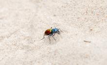 A Colorful Festive Tiger Beetle (Cicindela Scutellaris) On Sandy Soil On The Plains Of Eastern Colorado