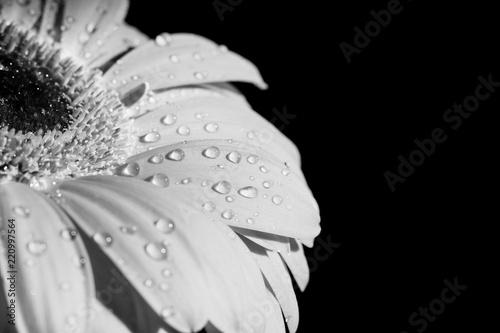 czarny-i-bialy-strzal-gerbera-kwiat