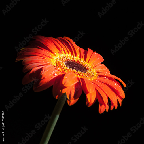 Red gerbera flower.