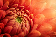 Colorful Chrysanthemum Flower Macro Shot. Chrysanthemum Flower Background.