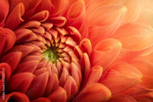 Colorful chrysanthemum flower macro shot. Chrysanthemum flower background. - 221005532