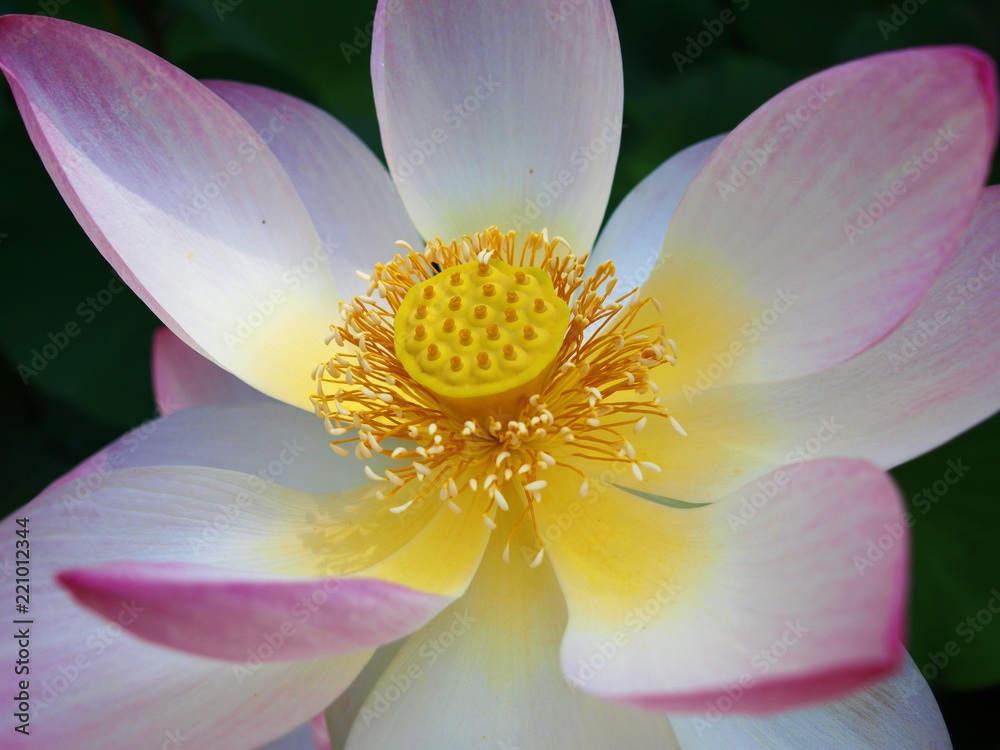 Photo Art Print Details Of An Indian Lotus Blossom With Pollen