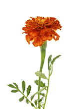 One Flower Of Marigold Isolate...