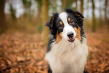 Tri Colour Australian Shepherd Puppy Portrait In Woodland