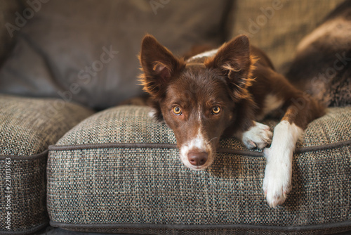 Fotografija Red and White Border Collie Puppy on Luxury Sofa