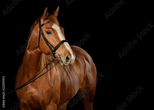 Slika na platnu Low Key Horse Shot in Studio on Black Background