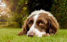 Spaniel Portriat Outdoor In Co...