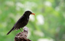 Male Blackbird With Many Mealworms In The Bill On A Soft Green Background Sitting On A Tree Root