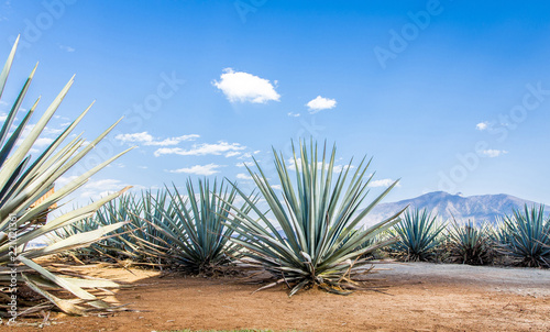 Photo Tequila agave  lanscape