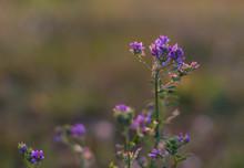 Drobny Polny Kwiat Niebieski