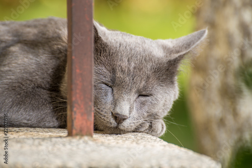 Fotografie, Obraz  Sleeping Russian Blue Cat