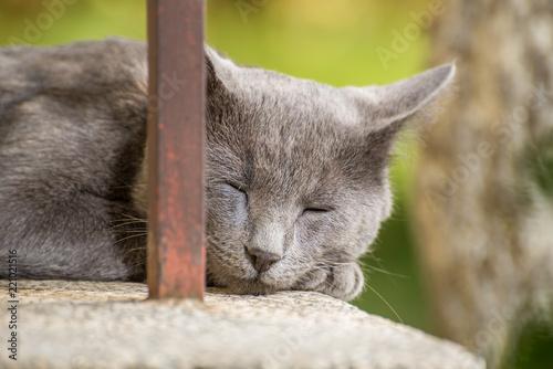 Fotografija  Sleeping Russian Blue Cat