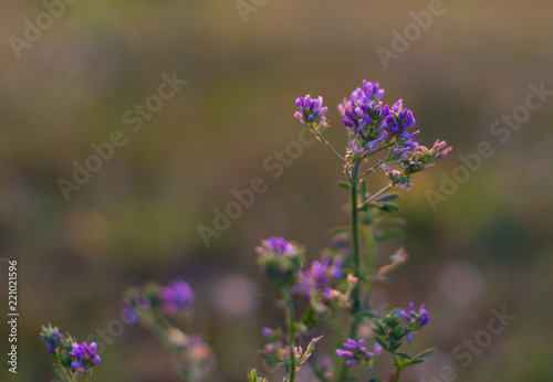 Obraz drobny polny kwiat niebieski - fototapety do salonu