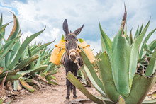Beautiful Donkey At The Maguey...