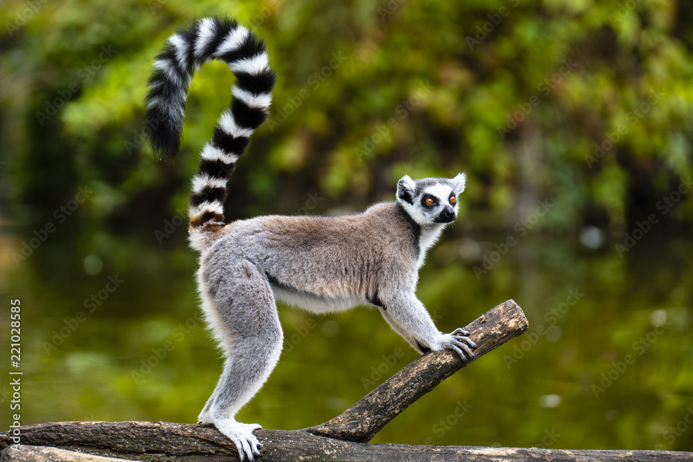 Fototapety, obrazy: ring tailed lemur on branch of tree