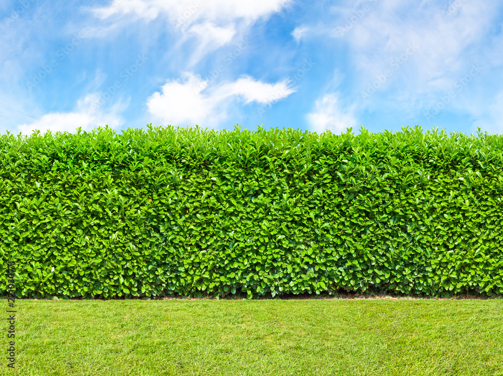 Fototapety, obrazy: Tall  bush hedge with sky and grass. Seamless endless pattern.