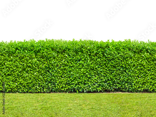 Foto  Tall  bush hedge with grass isolated on white