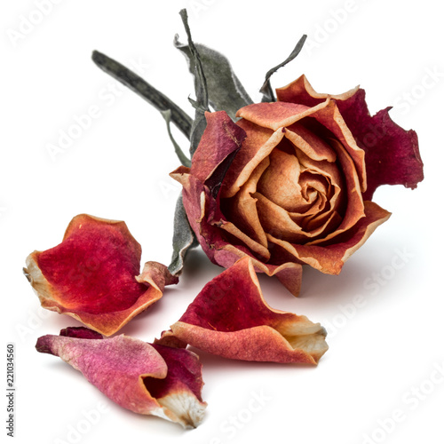 dried rose flower head isolated on white background cutout