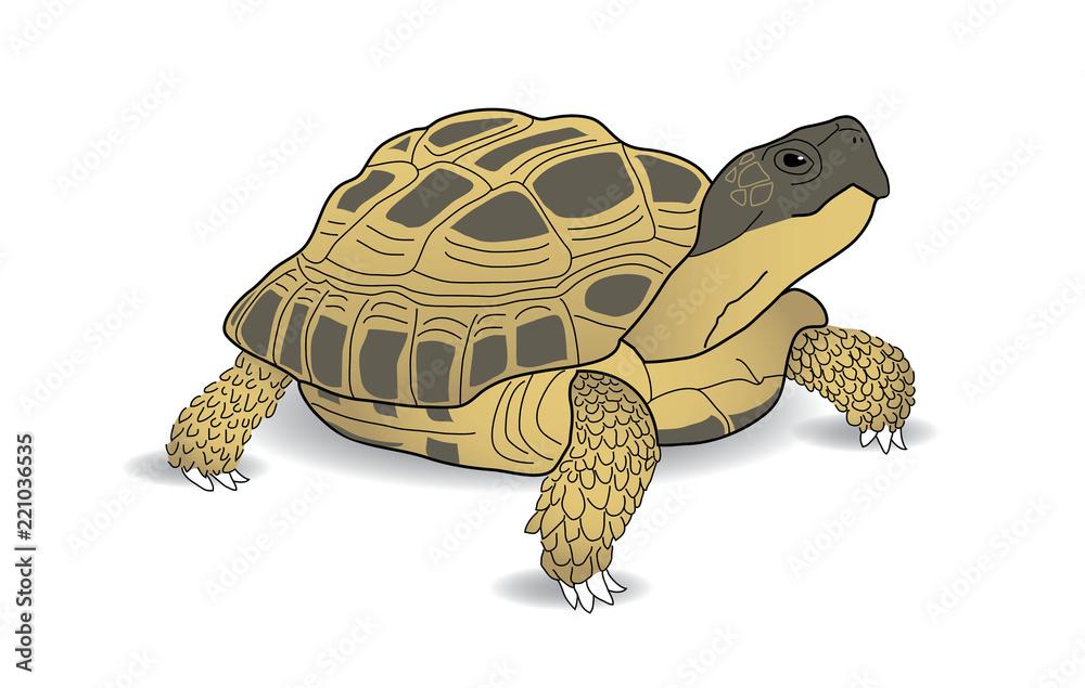 Russian Tortoise, Desert Tortoise, Horsefield Tortoise, turtle