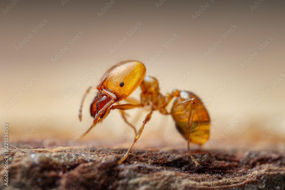 Fototapeta Pharaon Ant