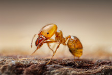 Pharaon Ant