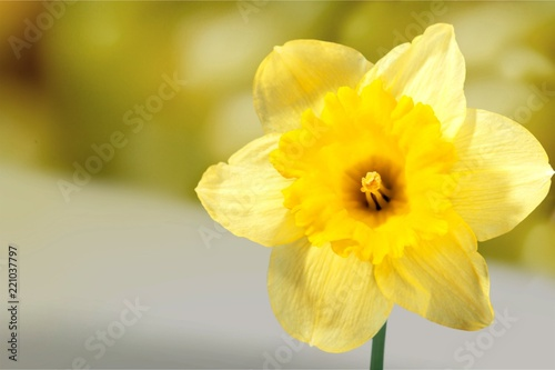 Yellow Daffodil isolated on White Background Wallpaper Mural