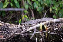 Crocodile In Tortuguero Costa Rica