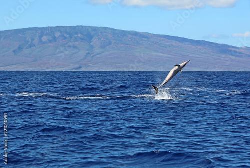 Wild dolphin performing a pirouette - Hawaii Slika na platnu