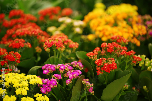 Foto  Beautiful blooming kalanchoe flowers, closeup. Tropical plant