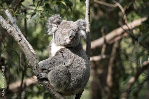 Fototapeta premium koala