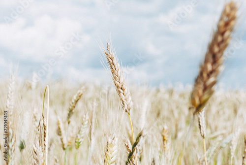 Fotografie, Obraz  The rye crop Secale cereale on the field