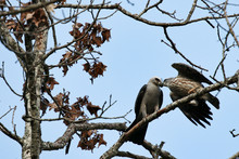 Adult Mississippi Kite Feeding Its Young Juvenile Mite