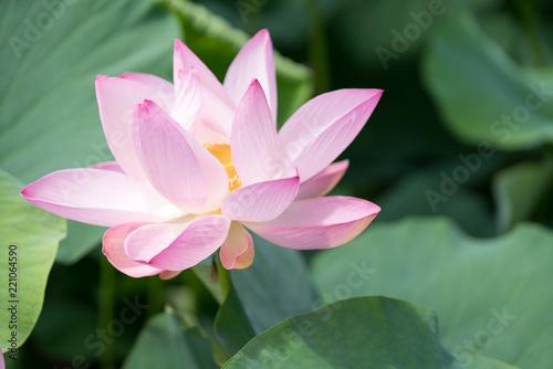 Foto op Canvas Lotusbloem 北限の蓮花(2017年)