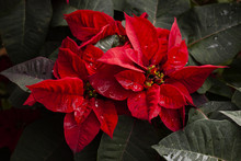 Christmas Star Or Poinesettia Red In The Garden