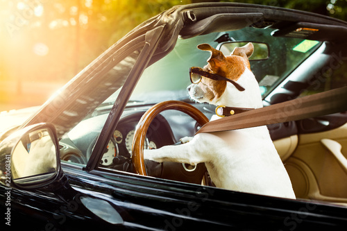 Foto op Aluminium Crazy dog dog drivers license driving a car