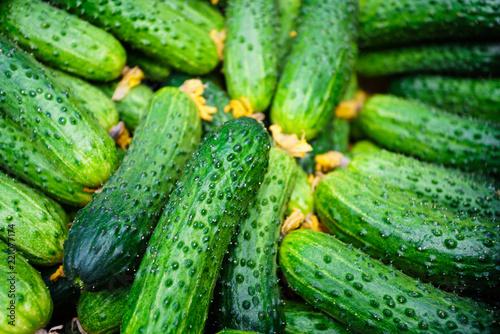 Fototapeta cucumbers from the field obraz