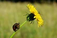 Fly And Snail On Dandelion Close-up