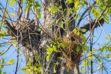 Bird Nest On A Tree With Bird Parents