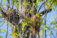 Bird Nest On A Tree With Bird Parents