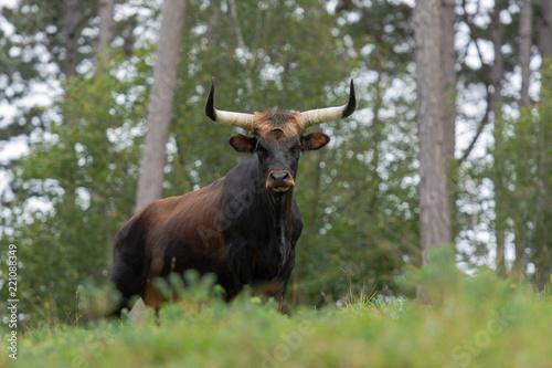 Valokuva  vache aurochs dans une forêt