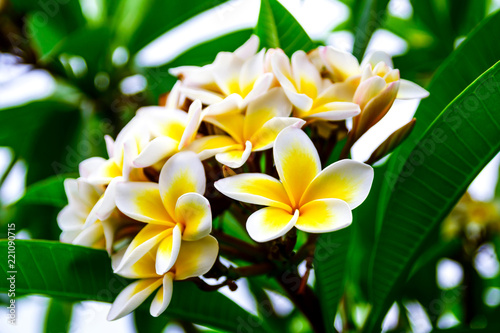 Keuken foto achterwand Frangipani Photo of white yellow flowers branch plumeria