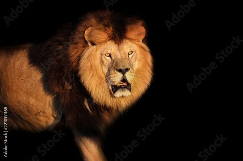 Staande foto Leeuw Lion Berber on a black background